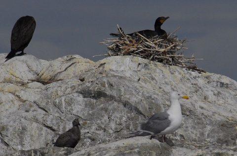 Double Crested Cormorant nesting