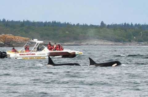 Eaglewing & Orca Whales