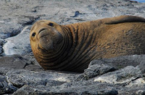 Elephant Seal at Race Rocks