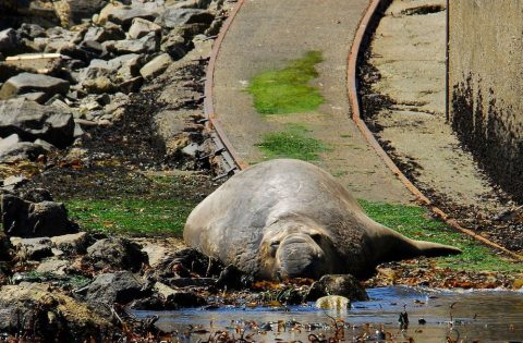 Adult male elephant seals measure up to 4.5 m (20 ft) long and weigh up to 2300 kg (8000 lbs)