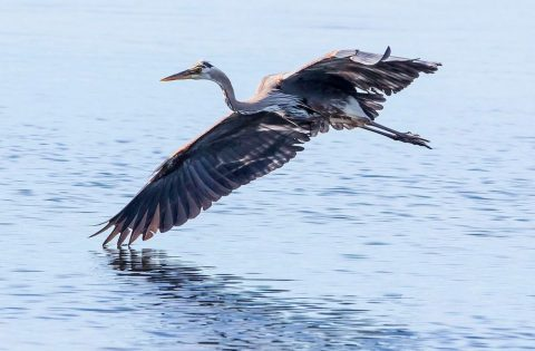 Touch down... a blue heron making a spectacular landing