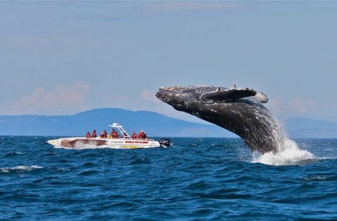 FEATURE - Humpback whale putting on a show for Eaglewing passengers