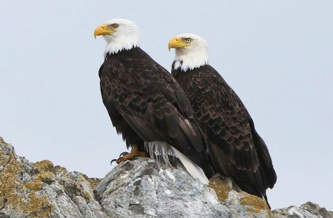 Mating pair of Bald Eagles - photo Valerie Shore