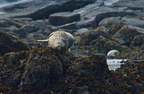 Pacific harbour seal relaxing on some seaweed - photo Valerie Shore