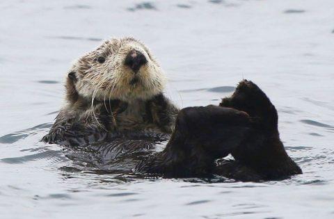 Sea Otter floating in the Salish Sea - photo Valerie Shore