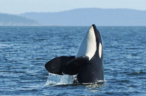 Spyhopping killer whale - photo Valerie Shore