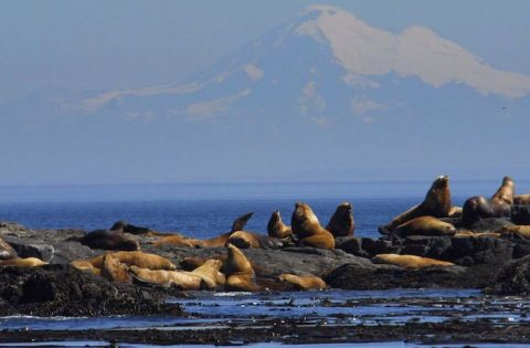 Steller sea lions & Mount Baker. Photo: Christopher Zylstra