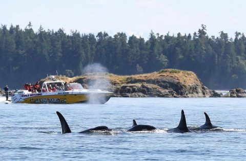 Whale watchers onboard Goldwing viewing transient orca - photo Valerie Shore