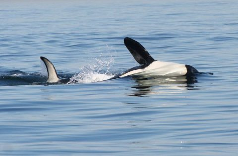 orca rolling over on its side playing with family