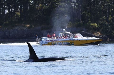 GOldwing watching a an adult male Transient orca - photo Valerie Shore