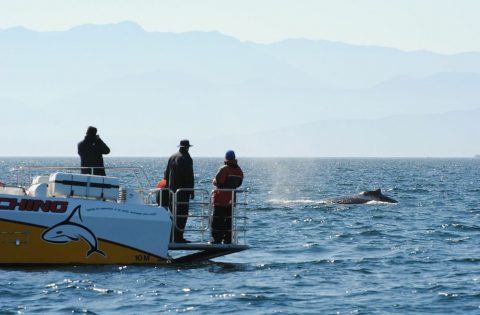 Goldwing with humpback whale