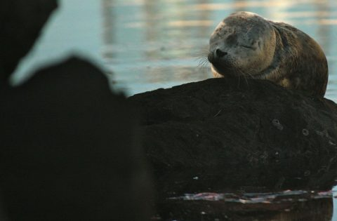 Harbour seal pup - baby