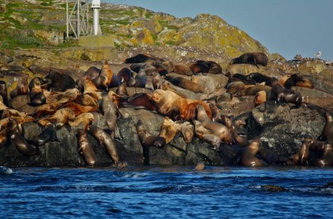 Haul out of male California and Stellar sea lions