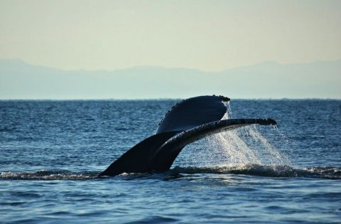 Humpback whale heading for a longer dive to search for food
