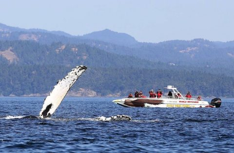 Humpback whale with a big wave to passengers on Eaglewing - photo Valerie Shore