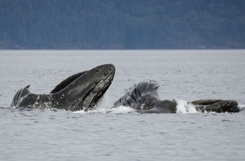 Humpbacks lunge feeding. Photo: Dale Mitchell
