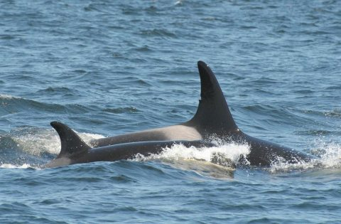 Killer whales can swim up to 32 mph or over 50kph