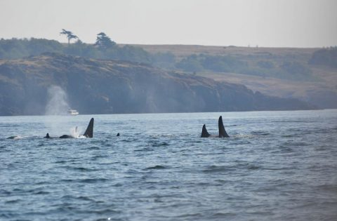 Killer whales travel in large family groups called pods - photo Dale Mitchell