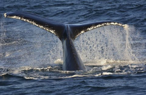 Large humpback tail fluke shows scarring and barnacles -
