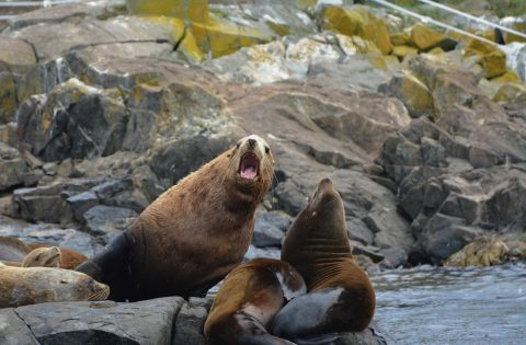 Large male Steller Sea lion speaking to a large California sea lion - photo Dale Mitchell
