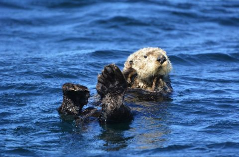 Local resident fuzzy sea otter near Sooke, BC. Photo: Dale Mitchell