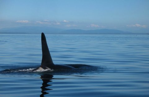 Male orca dorsal fins can reach 6 feet or 2 meters tall