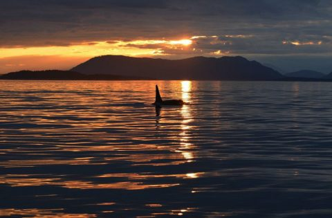 Male orca searching for food at sunset