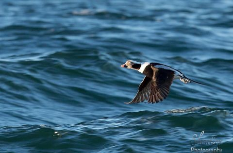 Old Squaw--Long Tailed Duck