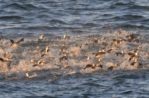 Old Squaw - Long tailed ducks leaving in a hurry
