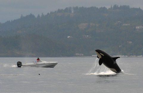 Orca breaches for Ken balcomb to take a shot