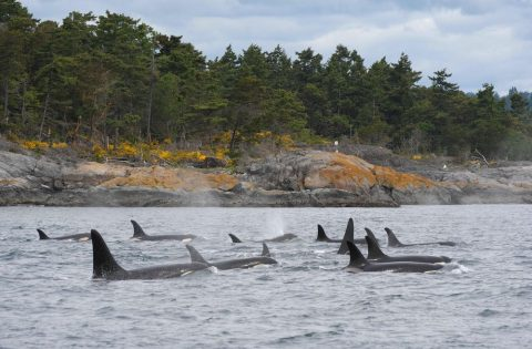 Orca families are called pods