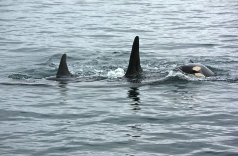 Orca family playing with one another