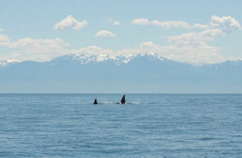 Orca live in a really big place - Salish Sea