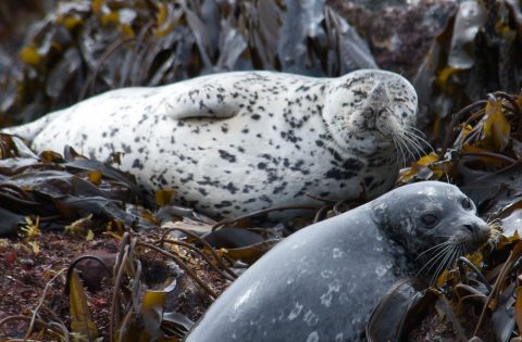 Pacific Harbour seals lying down on the seaweed