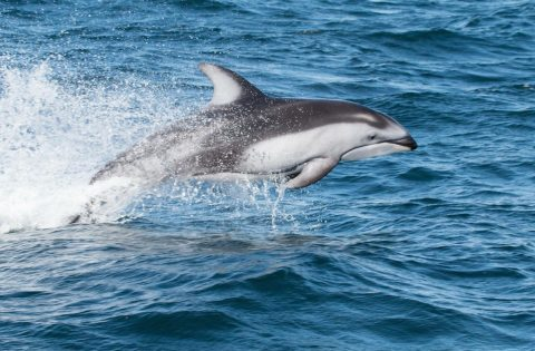 Pacific white-sided dolphin leaping out of the water