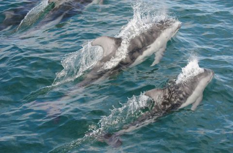 Pacific white-sided dolphins in swimming formation