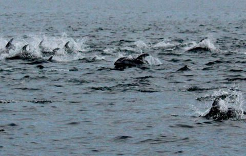 Pacific White sided dolphins travel in the hundreds