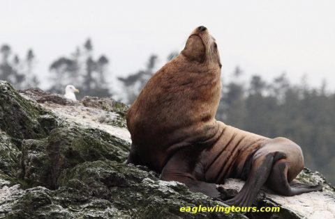 Proud to be a male sea lion