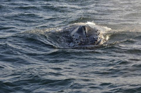 Rostrom (forehead) of humpback whale. Photo: Dale Mitchell