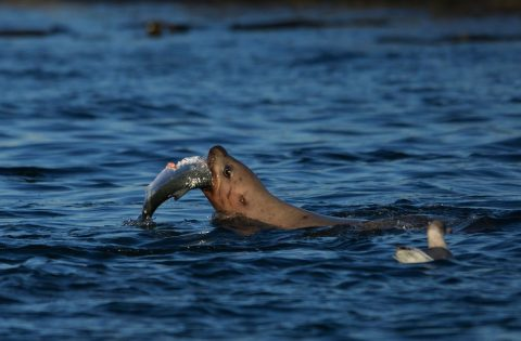 Salmon being eaten by hungry Steller Sea Lion - Clint Rivers