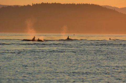 Southern Resident Killer Whales off of San juan Isalnd WA
