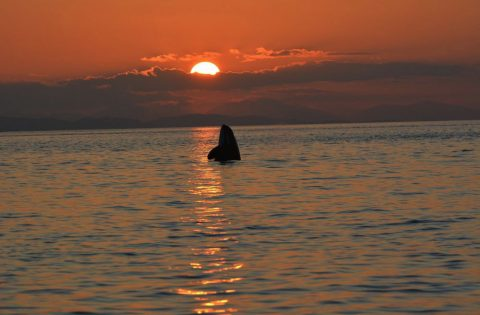 Spyhopping orca taking a look at the sunset perhaps