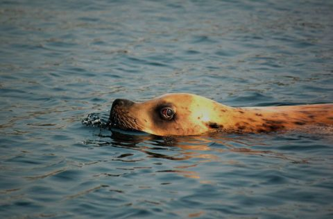Stellar Sea Lion male