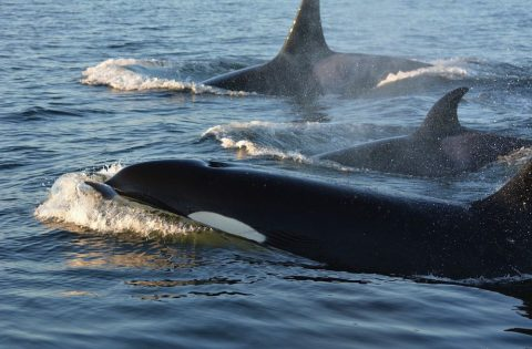 The mysterious eye patch on a killer whale is intimidating - photo Dale Mitchell