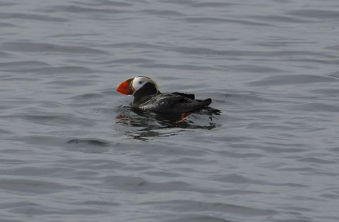The rare Tufted Puffin!