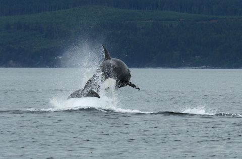Transient killer wahle attacking a porpoise