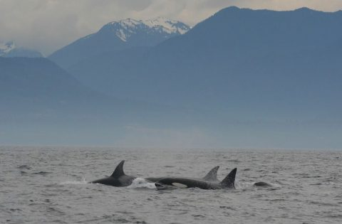 Transient mammal eaters swimming by Olympic mountains WA