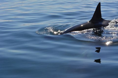 Transient orca have very sharp 'shark-like' dorsal fins compared to resident orca - photo Dale Mitchell