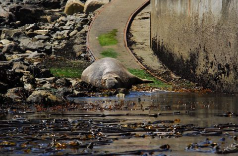 What a lazy day! Elephant seal soaking up the sun