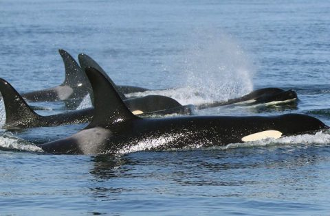 breathing for an orca is a voluntary action - photo Valerie Shore